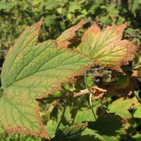 Сохнут листья смородины - что делать?
