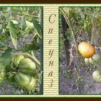 Отчёт по урожаю помидоров 2018 год. Часть 3.