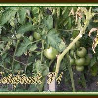Отчёт по урожаю помидоров 2018 год. Часть 4.