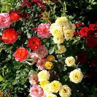 Выращивание розы из букета - сложно ли?