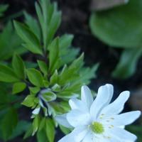 Анемоны новые и любимые в моем саду.