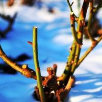 Уход за розами осенью - подготовка к зиме