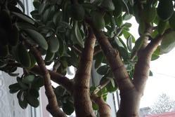 Денежное дерево (КРАССУЛА)