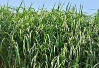 Сахарный тростник в России