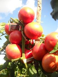 Есть немного семян томатов.