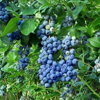 Голубика: 5 причин для выращивания