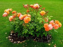 Осенняя пересадка молодых роз. Нужны советы.