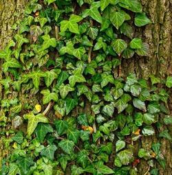 Лучшие вьющиеся растения для дачи
