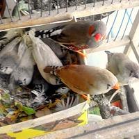 Колоски для попугаев