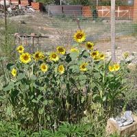 Сидераты осенью - сажать или оставить до весны?