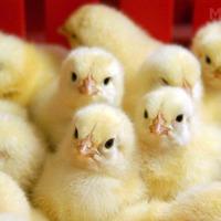 Какие витамины нужны цыплятам-бройлерам?