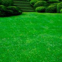 Как посадить газон из мятлика?