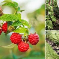 Чем подкормить малину осенью: 6 способов