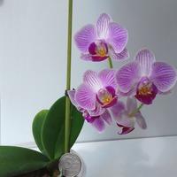 Результаты размножения орхидеи Фаленопсис