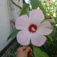 Страсть похожа на цветок гибискус, Что цветет всего лишь два-три дня.