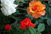 Горшечная культура роз на даче