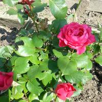 Переезд миниатюрных роз на дачу