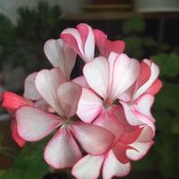 Мои комнатные цветочки