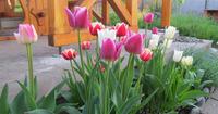 7 частых вопросов о тюльпанах