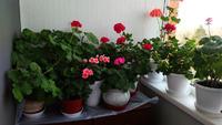 Пришла пора цветения герани