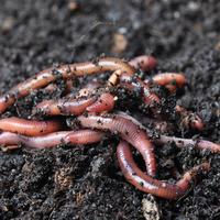 Какую пользу приносят дождевые черви?