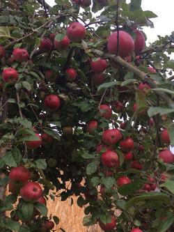Подрезка и омоложение плодовых деревьев