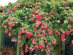 Изменчивость цветков Квисквалиса