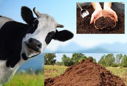 Полезны ли подкормки коровьим навозом?