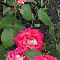 Предпосадочная подготовка роз!