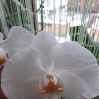 Мое увлечение орхидеями.