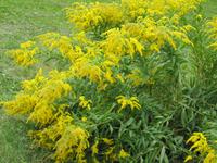 Золотые россыпи солидаго. Выращивание