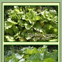 Капуста в сибирском огороде. Пекинская капуста «Мирако» F1 и салатик из неё.