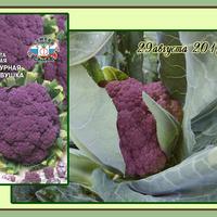Капуста в сибирском огороде. Цветная капуста «Экспресс МС»