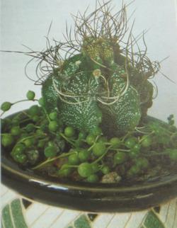 Зеленые бусины крестовника Роули. Выращивание