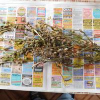 Выводы из Фоторепортажа о выращивании рассады Душистого табака и послесловие. Версия 2.