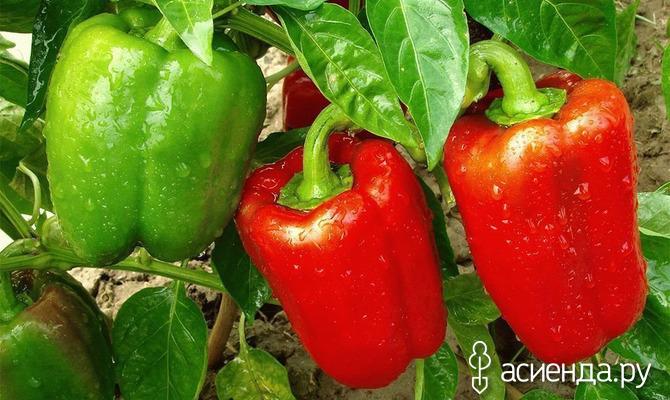 Что можно сажать после болгарского перца?