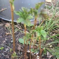 Смородина из семян