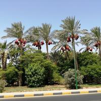 Финиковые пальмы на кромке Африки