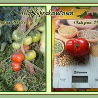Первые помидоры на сибирской даче.