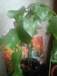 Помогите определить растение и что с ним