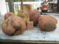 Вот такая картошка уродилась в этом году