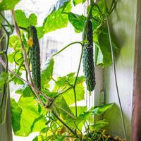 Огурцы на подоконнике: особенности выращивания