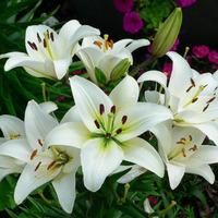Что делать, чтобы лилии пышно цвели?
