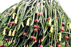 Съедобный кактус питахайя. Знакомство