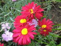 Пламенный цветок пиретрум. Выращивание