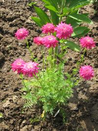 Пламенный цветок пиретрум. Основы