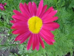 Пламенный цветок пиретрум. Размножение
