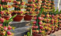Съедобный кактус питахайя. Выращивание