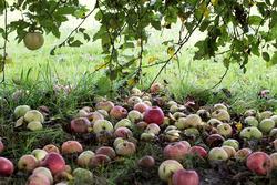 Опавшие яблоки - отличное удобрение!