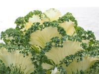 Декоративная капуста. Выращивание рассады